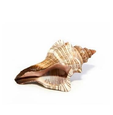 Assorted Shells available for Sydney hire.