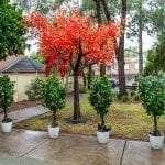 Kumquat Trees example display - hire now in Sydney!
