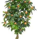 Kumquat Tree available for Sydney hire